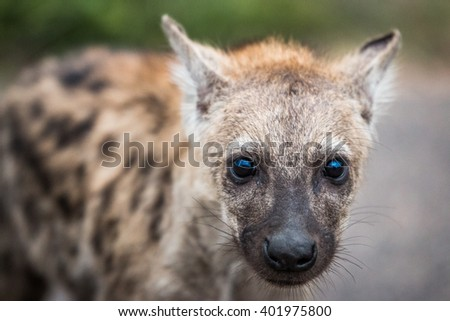 Starring Spotted hyena cub in the Kruger National Park, South Africa. Stock photo © simoneeman