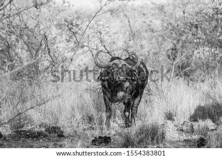 牛 黒白 公園 南アフリカ 牛 鳥 ストックフォト © simoneeman