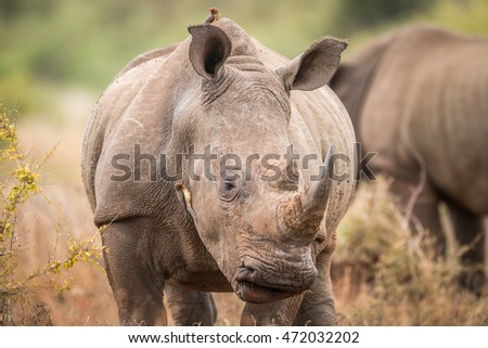 Starring White rhino with oxpeckers in the Kruger. Stock photo © simoneeman