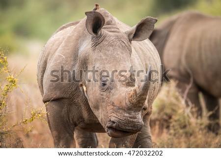 白 · サイ · 公園 · 南アフリカ · サイド · プロファイル - ストックフォト © simoneeman