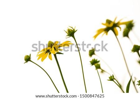 yellow cut leaved coneflower  Stock photo © meinzahn