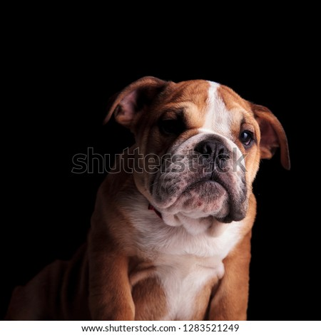 adorable english bulldog wearing red bowtie looks down to side Stock photo © feedough