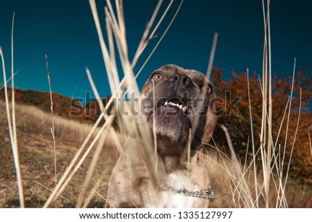 American bully enjoying being in the nature while looking up Stock photo © feedough