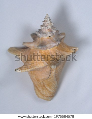 Conch Shell - Backside Diagonal stock photo © eldadcarin