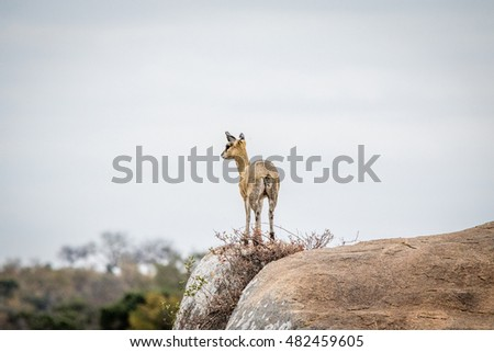 Female Klipspringer on the lookout. Stock photo © simoneeman