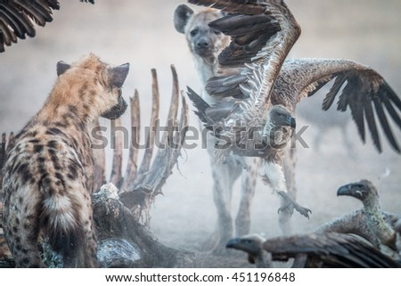 Spotted hyena at a carcass with a flying Vulture. Stock photo © simoneeman