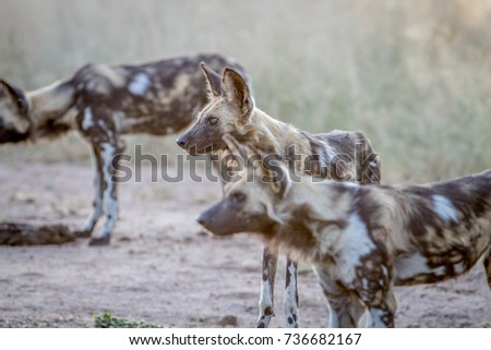 Starring African wild dog in the Kruger National Park, South Afr Stock photo © simoneeman