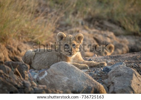 two lion cubs laying in a dry riverbed stock photo © simoneeman