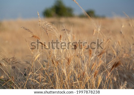 Wheat  spikes at portuguese field. Stock photo © inaquim