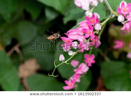Mel de abelha flor-de-rosa macro ocupado sessão coleção Foto stock © lichtmeister