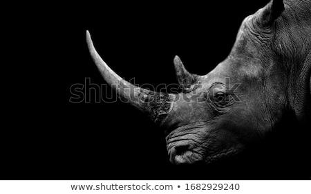 White rhino wild animal on isolated background Stock photo © cienpies