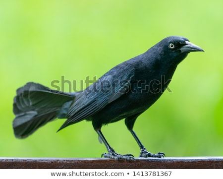Carib grackle or Greater Antillean blackbird on green  Stock photo © Arsgera