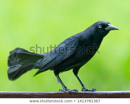 дрозд черный зеленый Наблюдение за птицами живая природа птиц парка Сток-фото © Arsgera