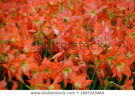цветок · изолированный · белый · красный · Лилия · карнавальных - Сток-фото © fyletto