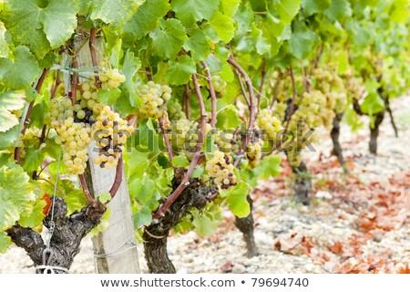 white grape in sauternes region aquitaine france stock photo © phbcz