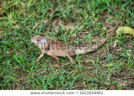 Oriental Garden Lizard, Calotes versicolor stock photo © duoduo