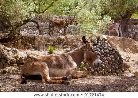 Burro mediterrânico oliveira campo grama parede Foto stock © lunamarina