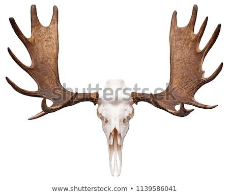 Moose horns decoration Stock photo © homydesign
