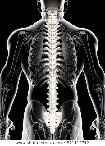 Zdjęcia stock: Udzki · kręgosłup