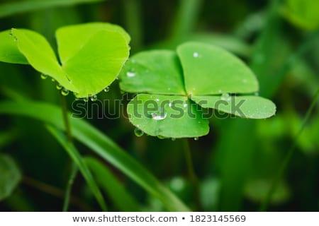 Deszczowy liści malutki Chmura wilgoć zielony liść Zdjęcia stock © blamb