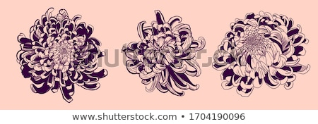 primer · plano · hermosa · amarillo · crisantemo · flores · jardín - foto stock © olira