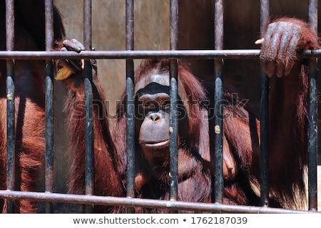 Orangutan hayvanat bahçesi üzücü yüz esaret doğa Stok fotoğraf © stevanovicigor