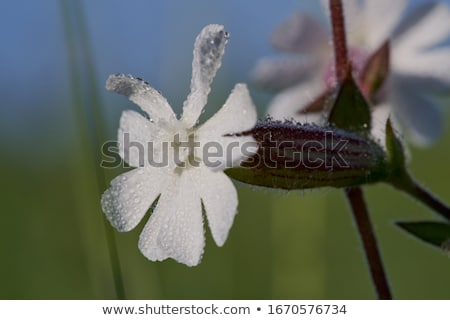 Bladder campion (Silene vulgaris) Stock photo © rbiedermann