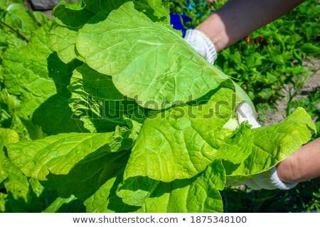 фермер · салата · органический · овощей · Фермеры · рук - Сток-фото © lunamarina