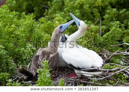 Two blue footed booby seabirds and chicks Stock photo © backyardproductions