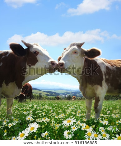 cows grazing on a lovely green pasture stock photo © lightpoet