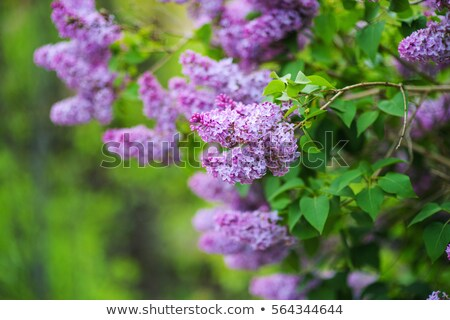 сирень · цветы · белый · свежие · изолированный - Сток-фото © chesterf