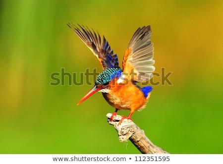 マラカイト · カワセミ · 鳥 · アフリカ · クール · 美しい - ストックフォト © dirkr