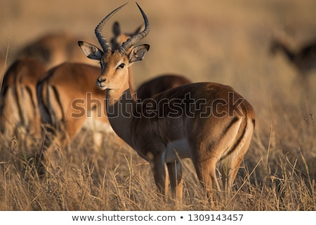 群れ · ボツワナ · サバンナ · 草 · 自然 · 光 - ストックフォト © livingwild
