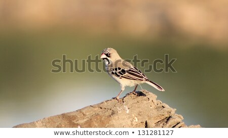 Scaly faced Finch - Wild Bird Background from Africa Stock photo © Livingwild