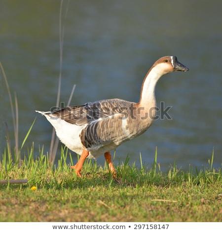 Bruin chinese gans geïsoleerd vogel water Stockfoto © stocker