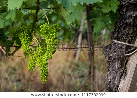 Unripe green grapes Stock photo © michaklootwijk