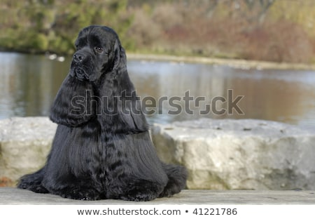 American Water Spaniel in a river Stock photo © CaptureLight