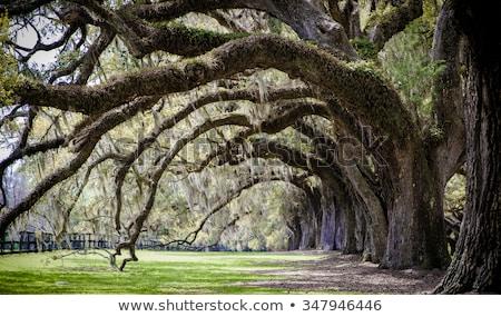 Spanyol moha déli fa Florida Stock fotó © wildnerdpix