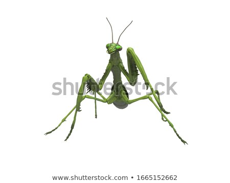 Praying Mantis isolated Stock photo © tilo