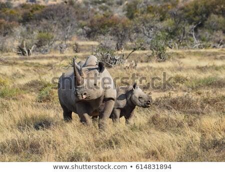 Fekete orrszarvú fiatal baba anya Afrika Stock fotó © art9858