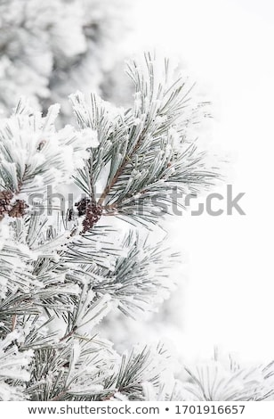 snow covered firs branch stock photo © makse