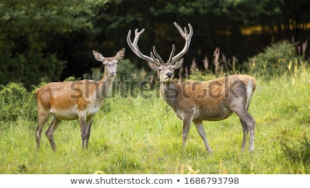 Two deers on a green field Stock photo © Sportactive