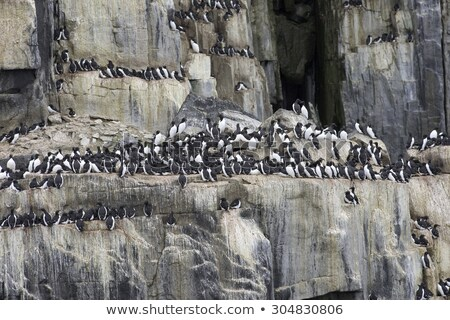 Nesting colony of guillemots birds on the cliff, Svalbard, Norwa Stock photo © dinozzaver