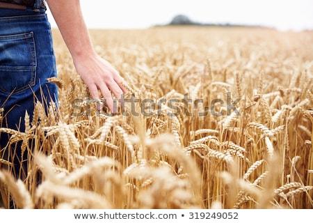 Kéz búzamező közelkép ujjak tart gabonapehely Stock fotó © stevanovicigor