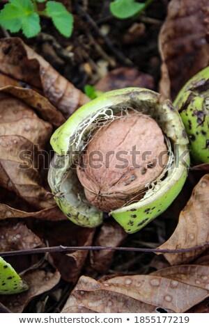 Atış olgun ceviz ağaç meyve Stok fotoğraf © mady70