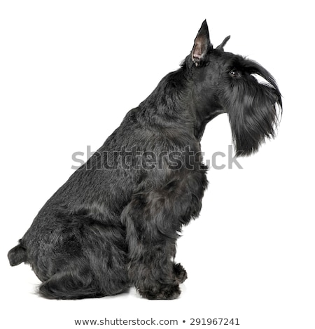 miniature schnauzer sitting sideways in a white photo studio stock photo © vauvau