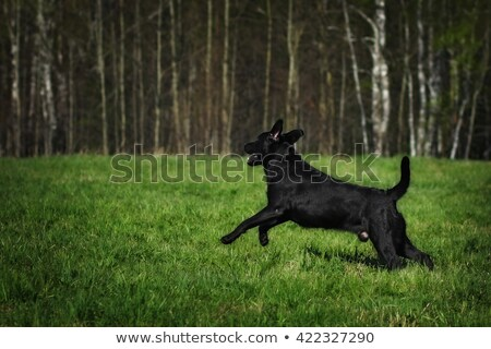 black Labrador puppy is in the show position Stock photo © goroshnikova
