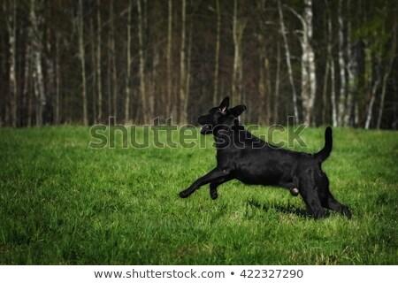 黒 ラブラドル 子犬 を見る 位置 ストックフォト © goroshnikova
