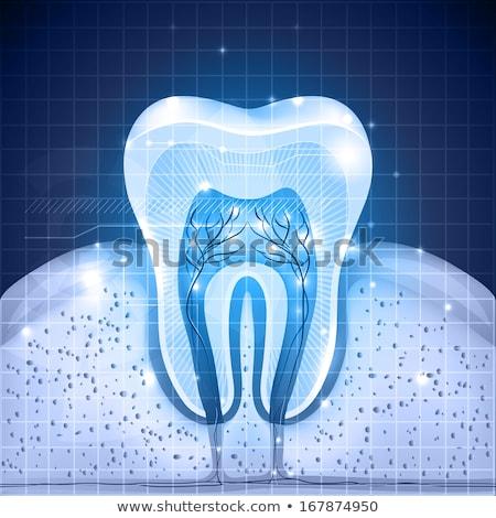 Teeth cross section beautiful illustration stock photo © Tefi