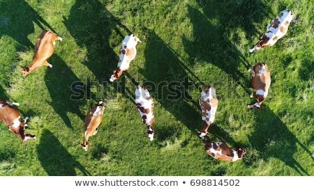 Aerial view of cows herd grazing on pasture Stock photo © stevanovicigor